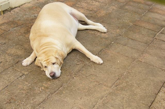 Imagem de labrador gordo deitado no chão