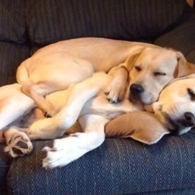 irmaos-caninos-dormindo