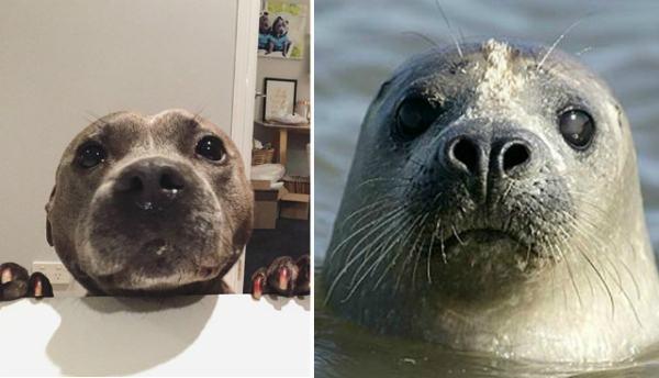pitbull-que-parece-com-foca