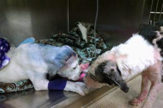 Cão resgatado consola cachorro que foi baleado por tutora
