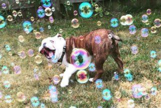 Cãozinho se diverte com bolhas e 'viraliza' na web