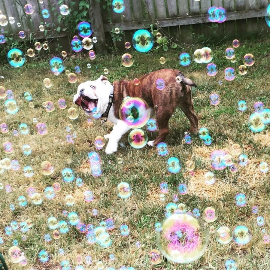 bulldogue-brincando-com-bolhas