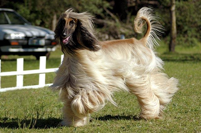 O afghan hound é uma das raças mais atletas do mundo canino