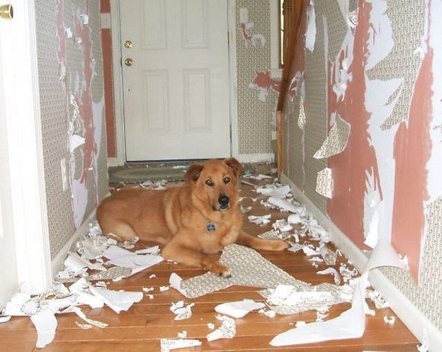 cachorro-arrancou-papel-das-paredes