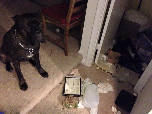 cachorro-destruiu-remedios-de-seu-tutor