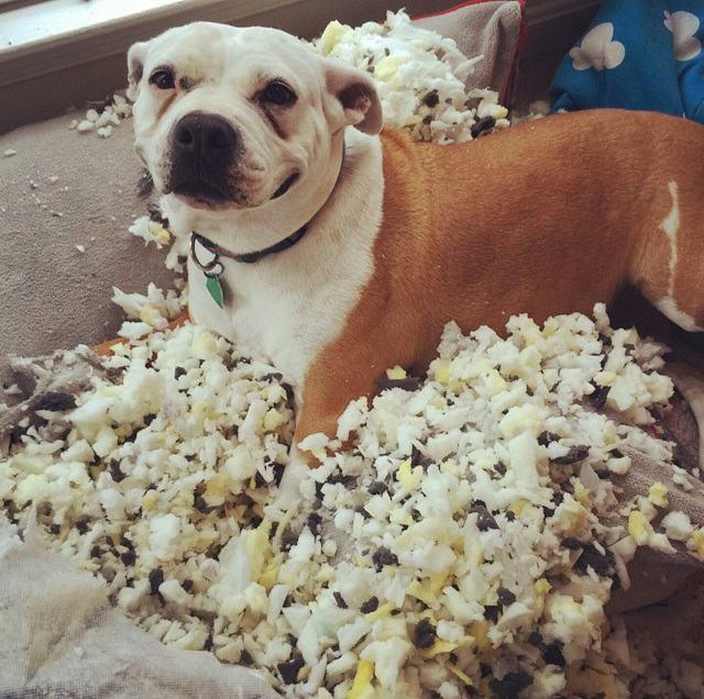 cachorro-destruiu-travesseiro