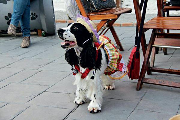 cadela-com-roupa-junina