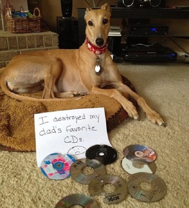 cadela-destruiu-cds-preferidos-do-tutor