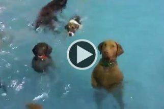 Cadela fica estática sem nadar e rouba a cena em festa de piscina canina