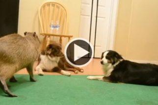Cães border collies cultivam amizade improvável com capivara