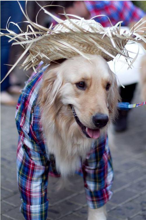 Cãezinhos arrasam com figurino matuto para os festejos juninos