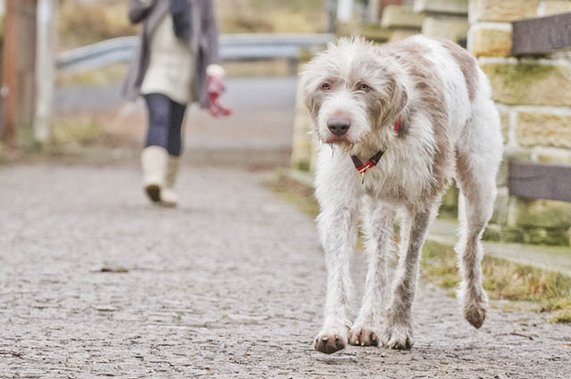 O deerhound tem a necessidade de praticar atividades físicas diariamente