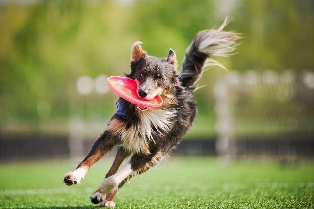 Disciplina: truques para executar com cães em casa