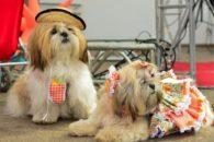 Confira sugestões de roupas e acessórios juninos para cães