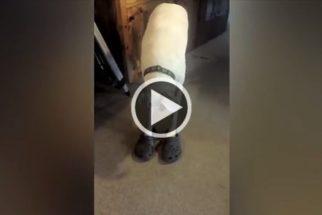 Hilariamente fofo: Boxer calça e dá uma volta com Crocs de tutora