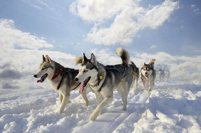 O husky siberiano possui um nível de energia considerado alto