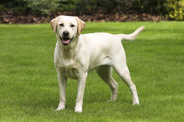 O labrador fecha a lista dos cães mais atletas do mundo canino