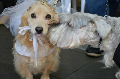 noivos-caninos-de-festa-junina