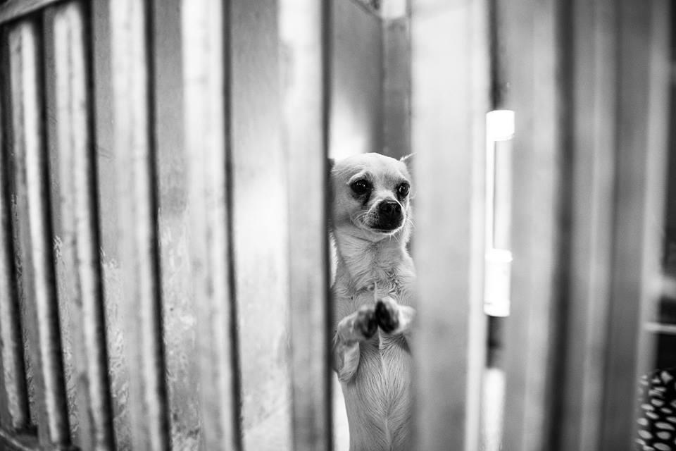 oliver-chihuahua-implorando-por-ajuda
