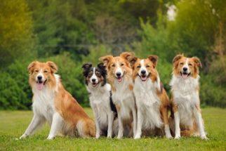 Pesquisa aponta que cães podem ter sido domesticados na Ásia e Europa
