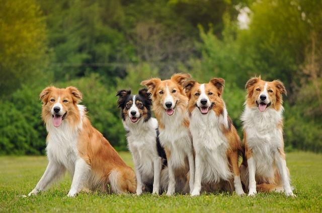 Pesquisa aponta que cães podem ter sido domesticados duplamente na Ásia e Europa