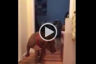 Pit bull 'medroso' anda na ponta das patas para não acordar gato