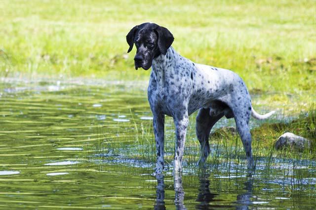 O pointer é uma cão de caça que necessita de caminhadas extensas regulares