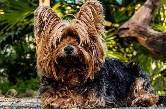 racas-de-cachorros-que-se-modificam-intensamente-quando-crescem-3