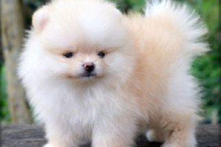 Raças de cachorros que se modificam intensamente quando crescem