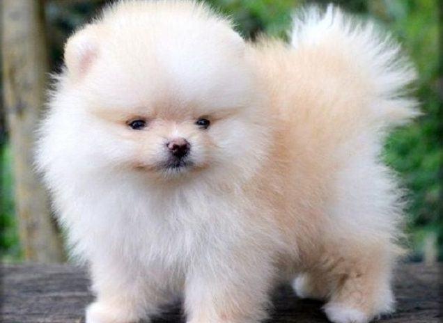 racas-de-cachorros-que-se-modificam-intensamente-quando-crescem-4