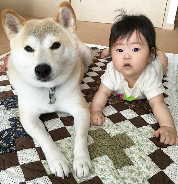 shiba-deitado-ao-lado-de-bebe