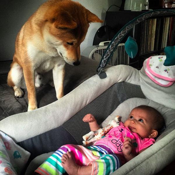 shiba-olhando-bebe-em-berço