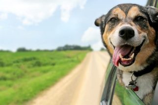 Transportar cães dentro do carro pode gerar penalidades