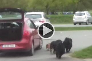 Tutor 'preguiçoso' é flagrado usando carro para guiar cães