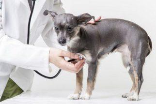 A importância de conhecer o tipo sanguíneo do cão