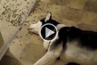 Vídeo: Confira alguns dos cães mais preguiçosos da internet