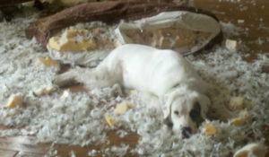 cachorro-que-destruiu-sofa