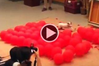 Cadela estoura 100 balões em menos de 40 segundos e bate recorde mundial