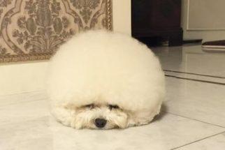 Fofura: Cadela que parece uma 'bolinha de algodão' conquista internautas no Instagram
