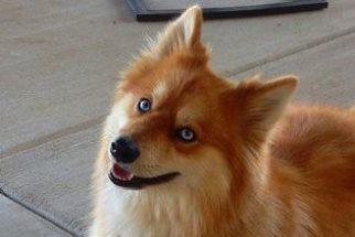 Cadelinha da raça pomsky é fruto do cruzamento de lulu com husky. Conheça