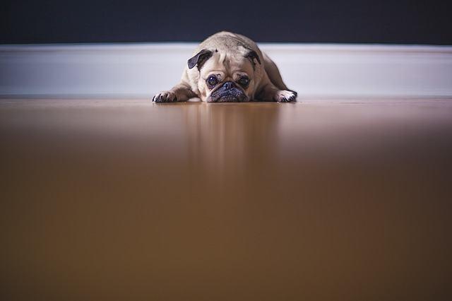 Cães deprimidos são capazes de cometer suicídio