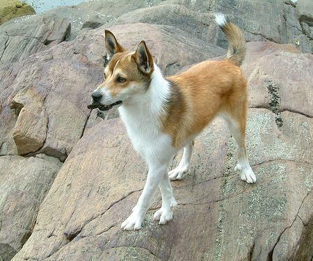 cao-da-raca-lundehund