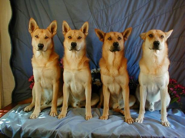 cao-dingo-americano
