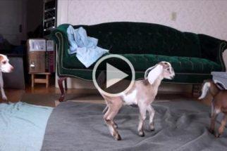 Cão faz incrível amizade com filhotes de cabra e todos começam a saltitar