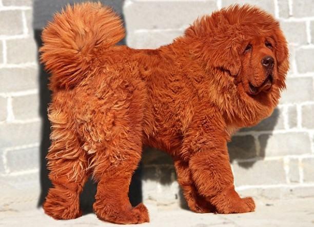 cao-mastiff-tibetano