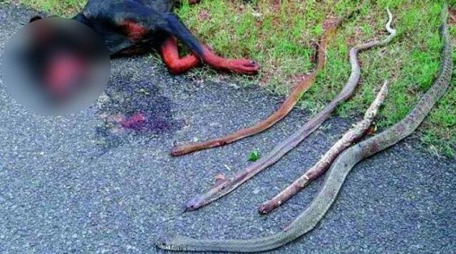 cao-morre-apos-salvar-familia-de-quatro-cobras