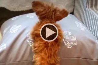 Cãozinho tenta subir em almofada e falha de maneira muito fofa