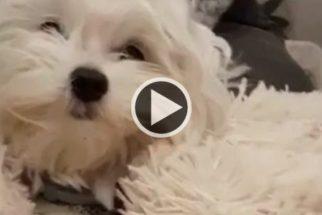 """Cãozinho vira """"hit"""" na web ao protagonizar vídeo ao som de Adele"""
