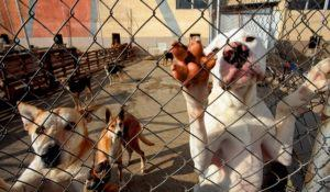 dogs leaning on fence in a dog shelter begging attention.