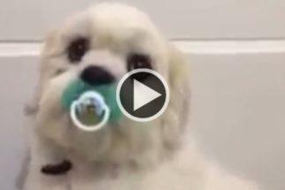 Kiko, o cãozinho que por nada troca a sua chupeta